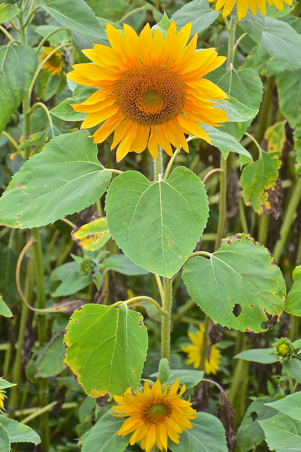 sunflower thesis This dissertation of tamala tonga kambikambi is approved as fulfilling  these  results showed that sunflower varieties interacted with weeds.